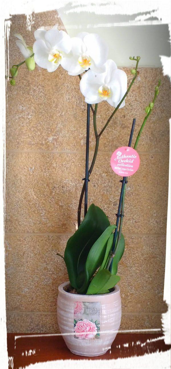 orhidea phalaenopsis scaled
