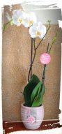 orhidea phalaenopsis