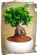 bonsai microcarpa