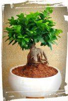 bonsai microcarpa