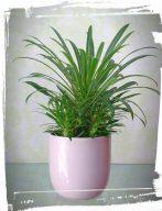 Pachypodium