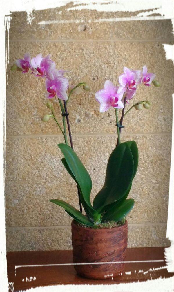orchidea mini3