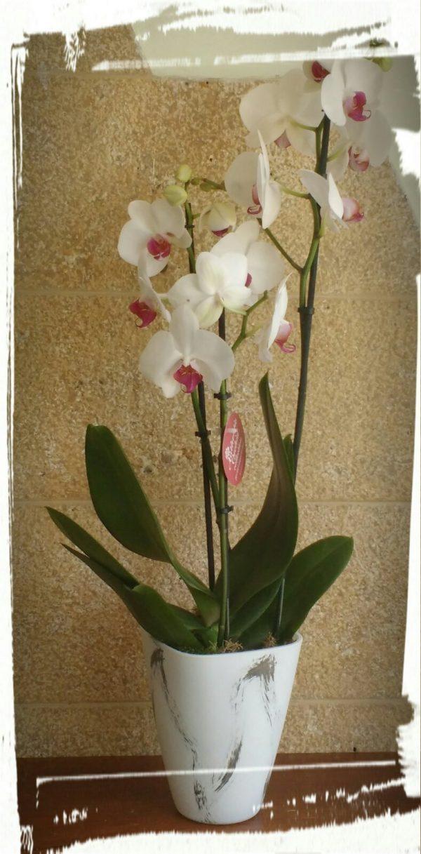 orchidea1 1