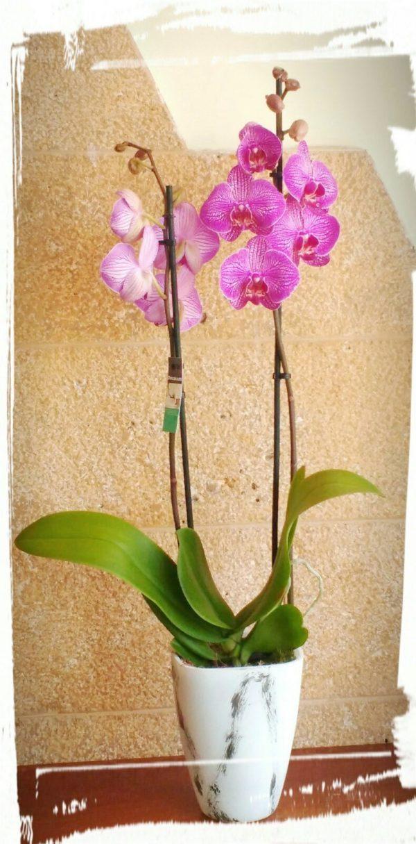 orchidea2