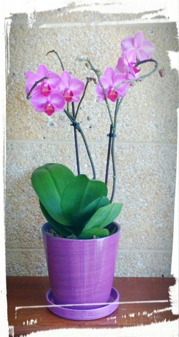 orchidea mini1