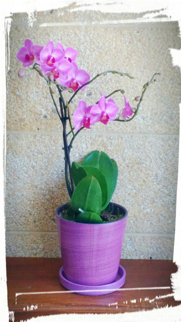 orchidea mini2