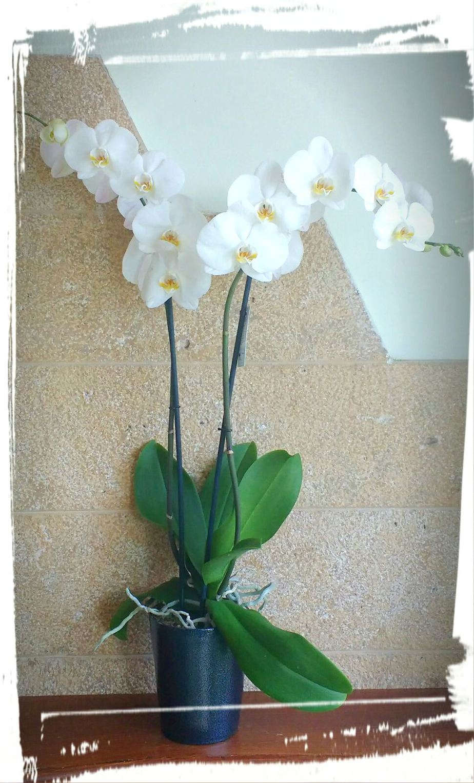 orchidea6