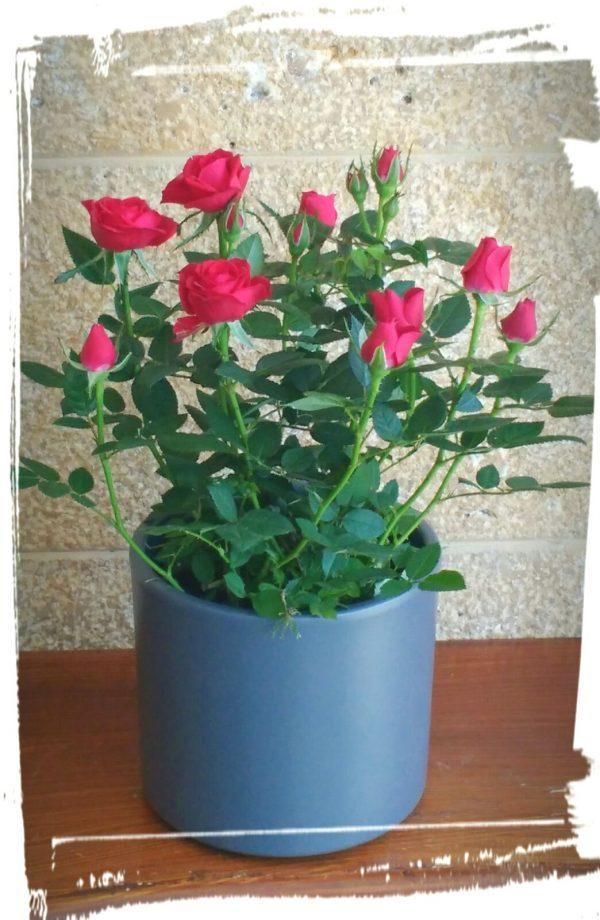triantafyllitsa red