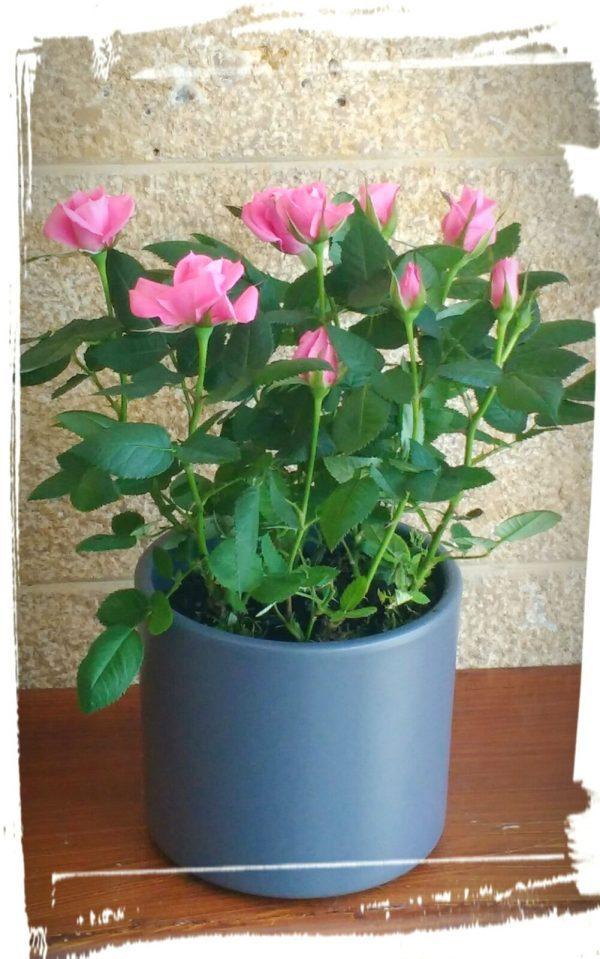 triantafyllitsa roz