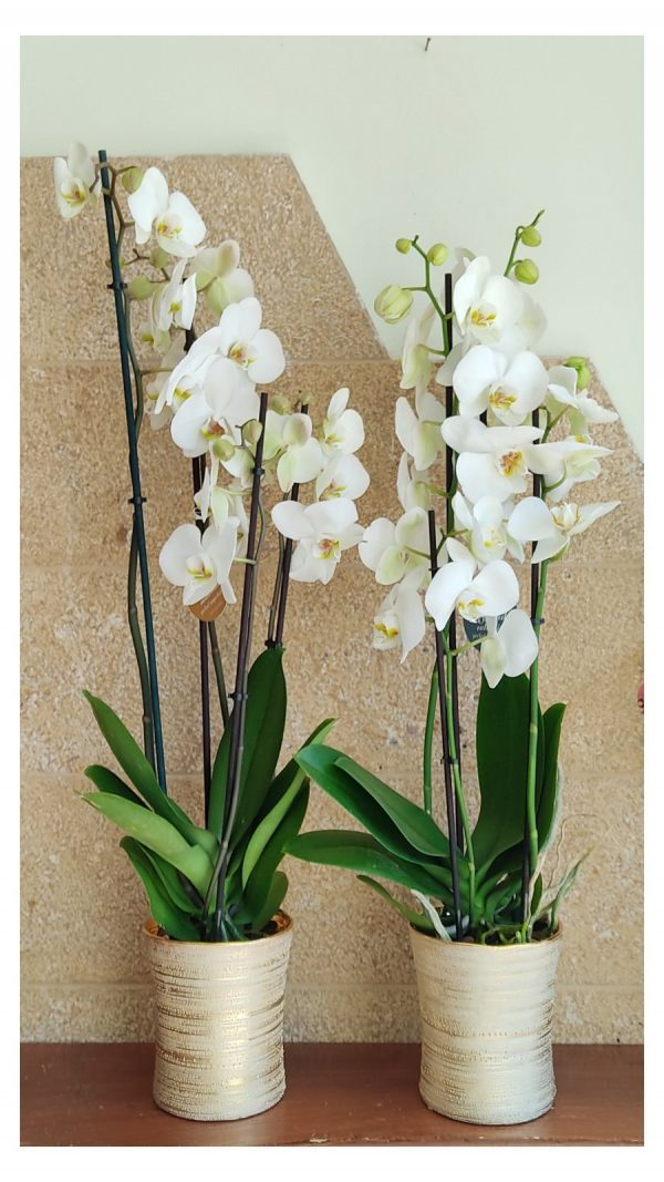 phalaenopsis gold 1