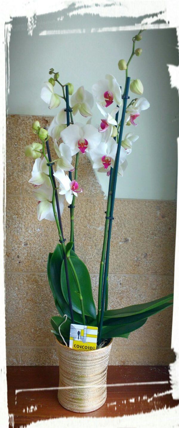 phalaenopsis gold